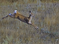 White Tail Faun Running