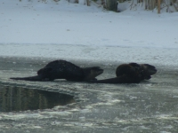 Otters At Play On Frozen Pond