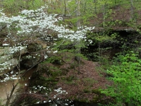 Flowering Dogwood In Piney Creek Ravine
