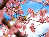 The Bird In The Cherryblossom Tree