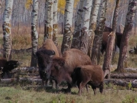 Bison In Early Fall