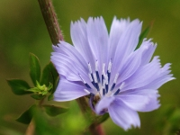 Romantic Chicory