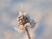 Hoarfrost On Thistle Plant