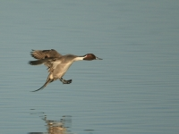 Northern Pintail Landing