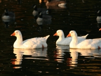 White Domestic Waterfowl With Reflections