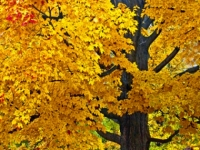 Yellow Oak Tree