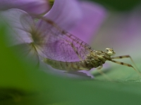 Mayfly On Phlox