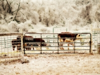 Cattle In Ice Storm