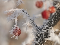 Hoar Frost On Berry