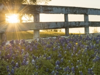 Sun, Fence And Bluebonnets