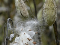 Milkweed About To Fly