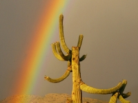 Saguaro And Rainbow