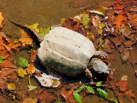 Snapping Turtle Lake Fayetteville