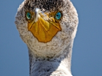 Portrait Of A Young Cormorant
