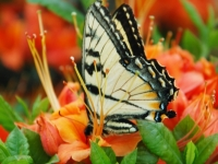 Tiger Swallowtail And Flame Azalea In The Roan Highlands