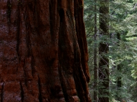 Among The Sequoias