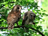 Barred Owl And Owlet - Corkscrew Swamp