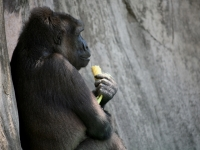 Gorilla At Lunch