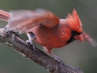 Cardinal Landing On A Tightrope