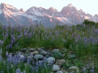 Lupine Dreams