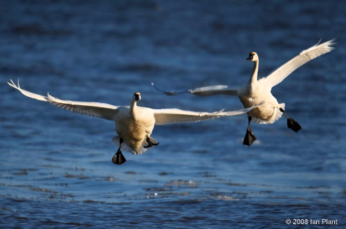 Tundra swans, Potomac River, Virginia.