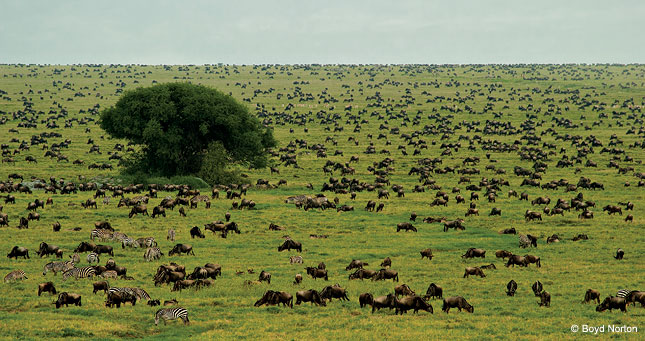 Saving Serengeti