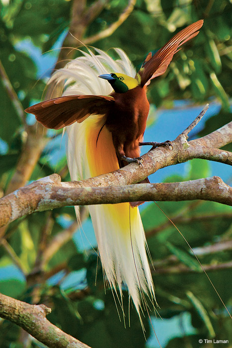 Lesser bird-of-paradise male displaying high in the rain-forest canopy at his display site. & Birds Of Paradise - Outdoor Photographer