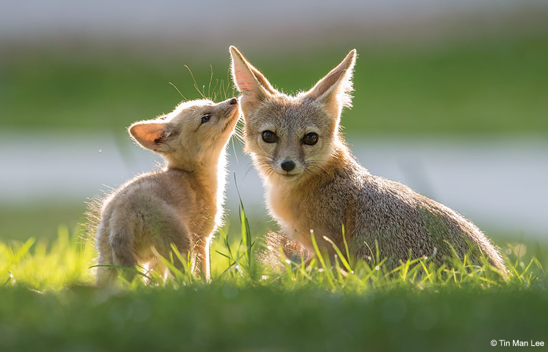 Telephoto technique: The endangered San Joaquin kit fox.