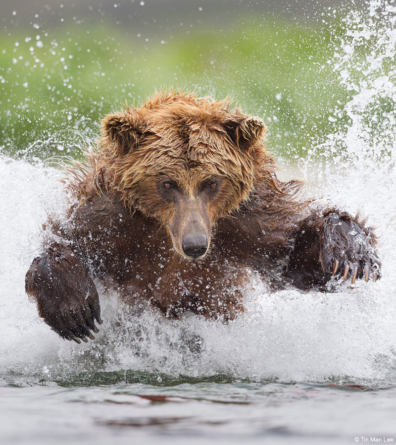 Telephoto technique: A brown bear pouncing for salmon in Katmai, Alaska.