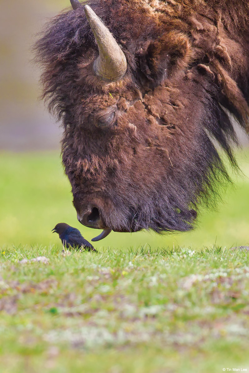 Telephoto technique: American bison grazing toward a brown-headed cowbird