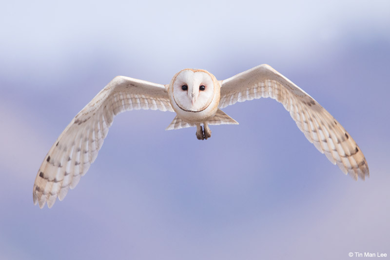 Telephoto technique: A wild barn owl, not called or baited, in central California.