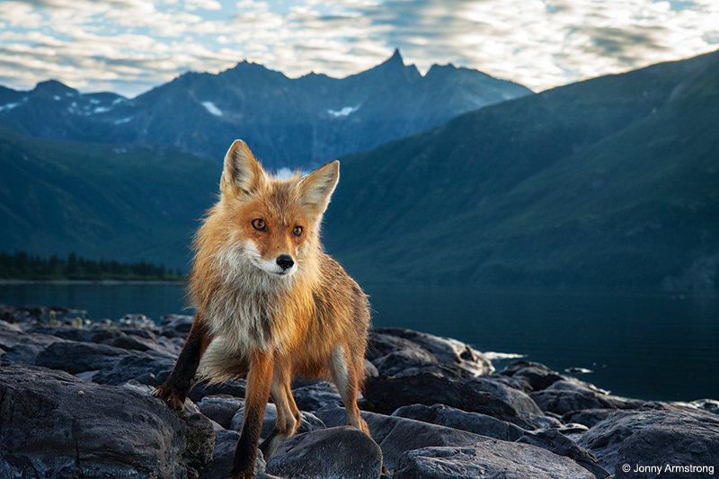 foxes near Lake Nerva, Alaska - Wildlife Camera Traps