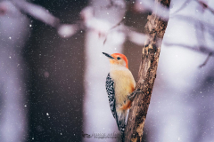 """""""Red Bellied In The Snow"""" By Jessica Nelson"""