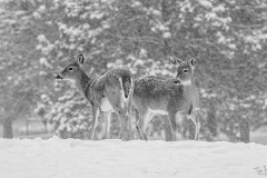 """""""Whitetails In A Snowstorm"""" By Tim Nicol"""