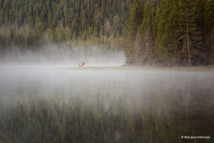"""""""Elk In The Mist"""" By Kimjanepeterson"""