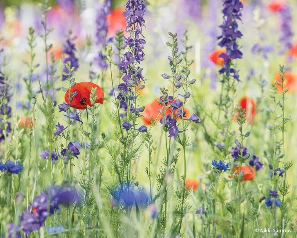Among The Wildflowers By Nikki Sumrow