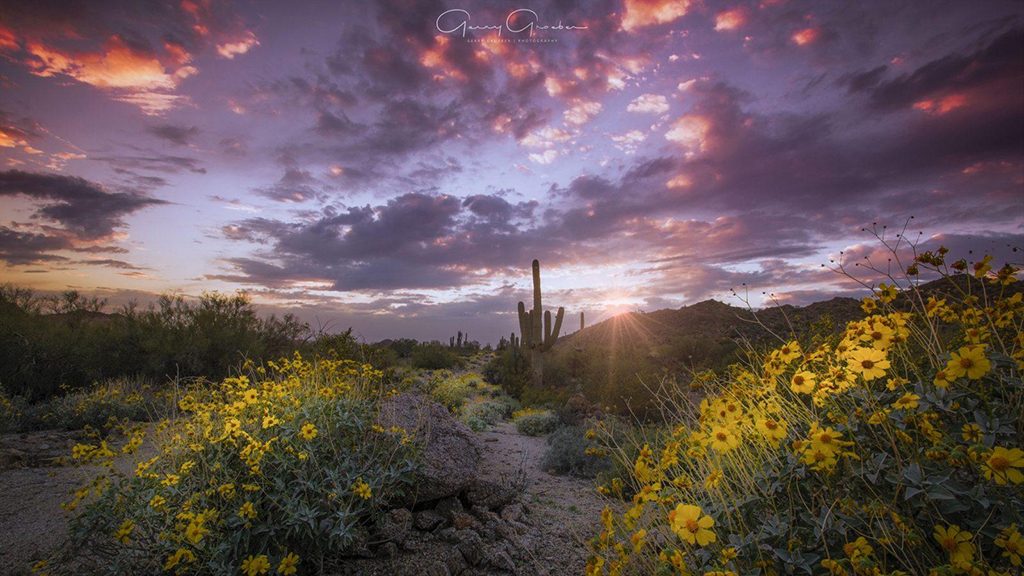 Winner Brittlebush Bloom By Gerry Groeber