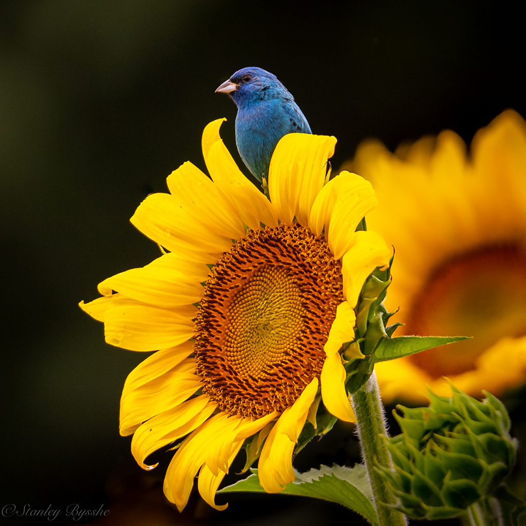 """Sunflower"" By Stan Bysshe"