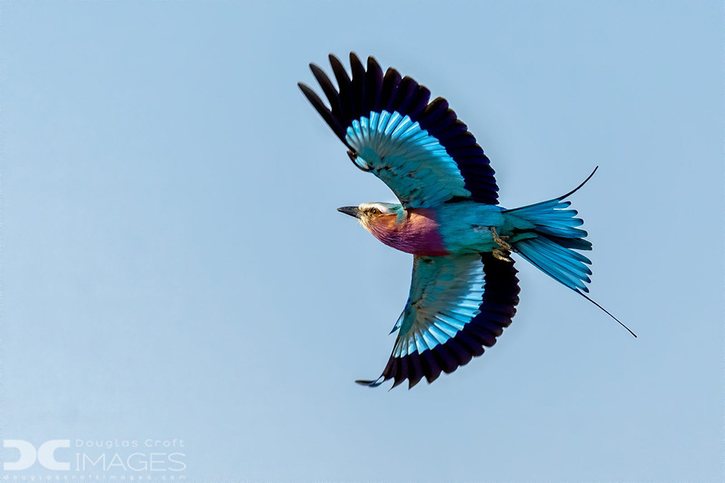 """""""Lilac-Breasted Roller"""" By Douglas Croft"""