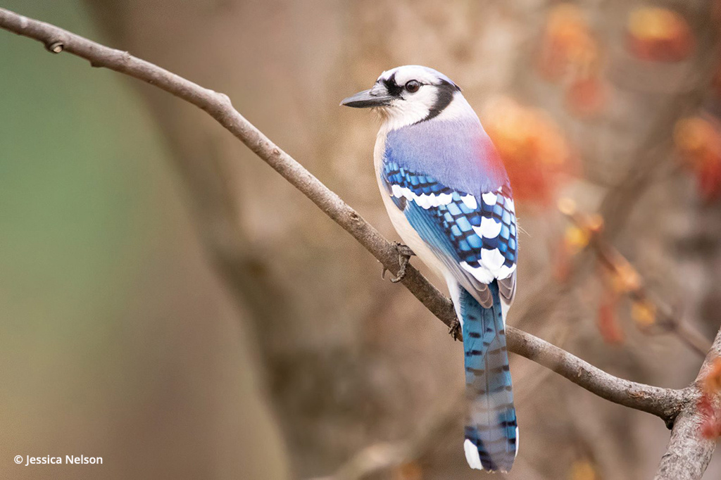 """""""Blue Jay"""" By Jessica Nelson"""