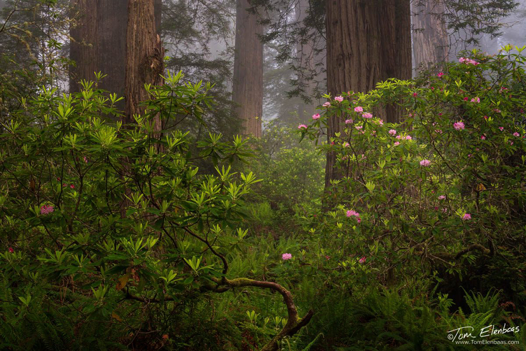 """""""Rhododendrons and Redwoods"""" By Tom Elenbaas"""