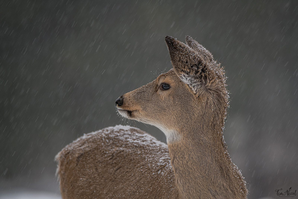 """""""Fawn in the Snowfall"""" By Tim Nicol"""