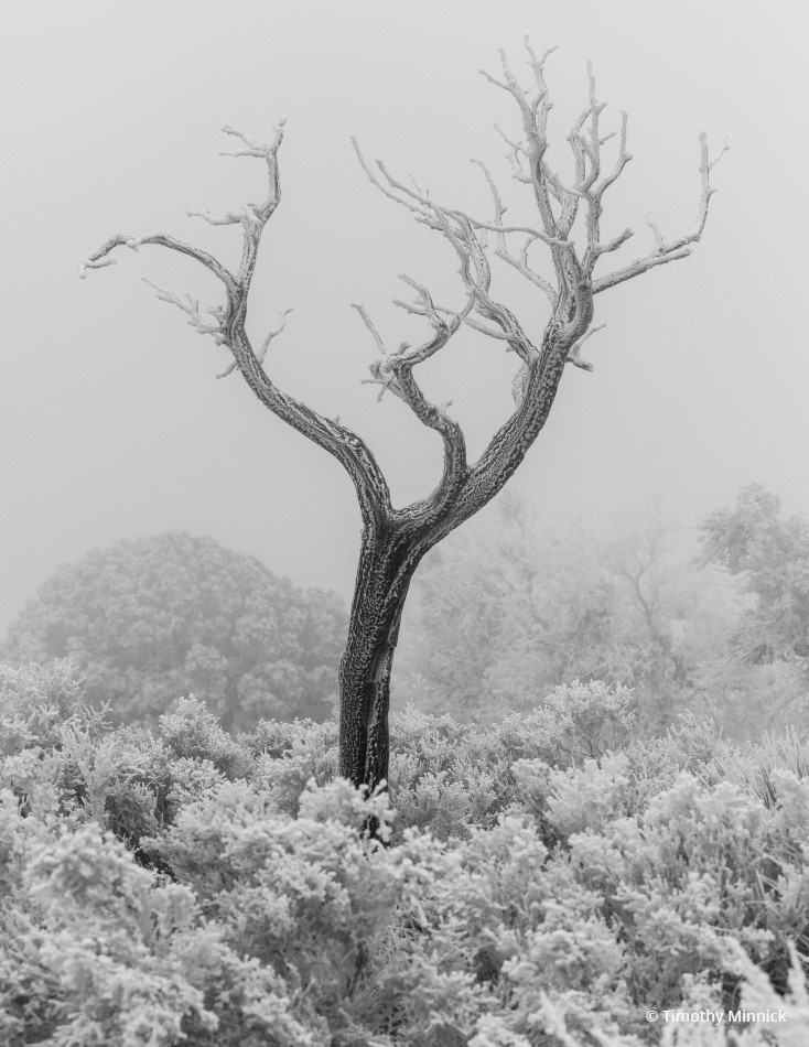 """Tree in Fog and Ice"" By Timothy Minnick"