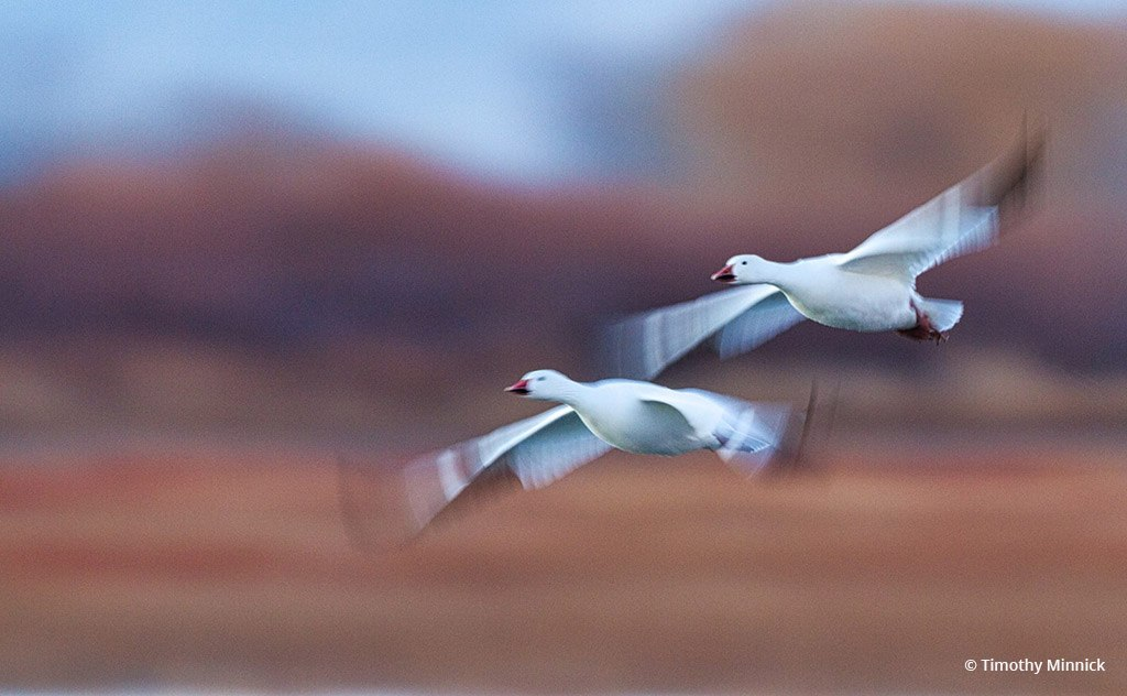"""""""Snow Geese"""" By Timothy Minnick"""