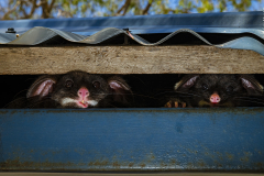 Peeking possums by Gary Meredith, Australia — Highly Commended 2020, Urban Wildlife