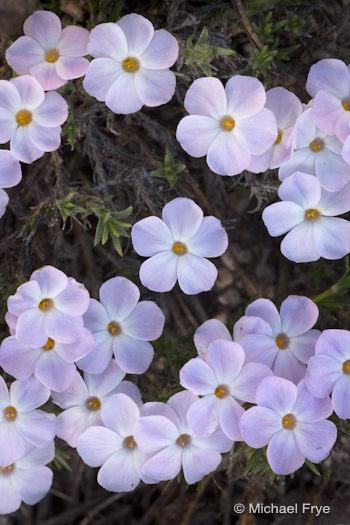 Spreading phlox in the Yosemite high country