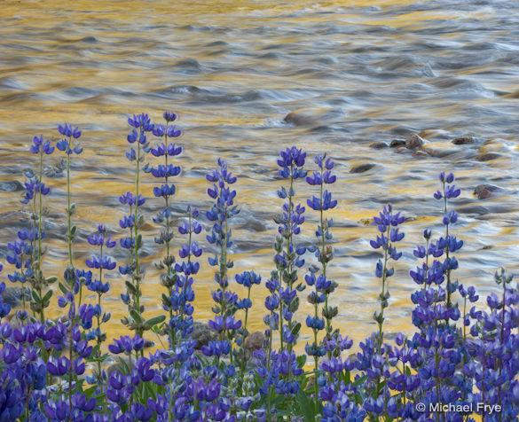 Lupine and reflections along the Tuolumne River