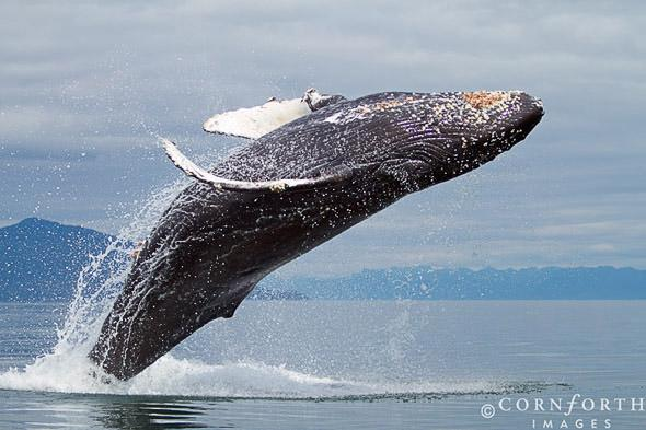 Humpback Whale Breach 103, Frederick Sound, Alaska