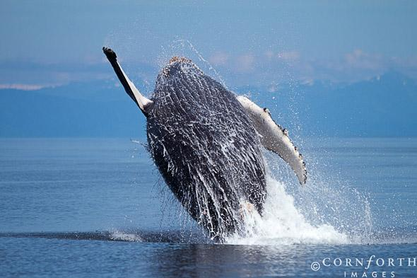 Humpback Whale Breach 105, Frederick Sound, Alaska