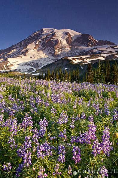 Mazama Ridge Lupine Sunrise 1, Mount Rainier National Park, Washington